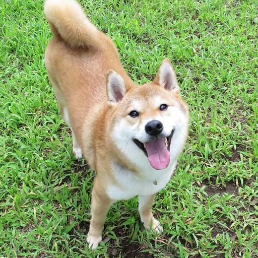 ポチ 柴犬
